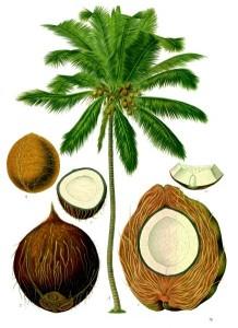 Planche scientifique du Coco Nucifera (Kohler)