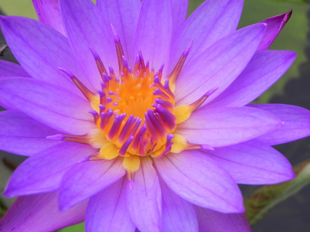 Nil manel (lotus bleu), fleur nationale du Sri Lanka