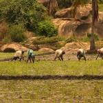 Sri Lanka. 6h du soir. Les paysans terminent leur travail dans les rizières.