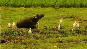 6h du soir. Les aigrettes picorent dans le champs. La vache se prélasse.