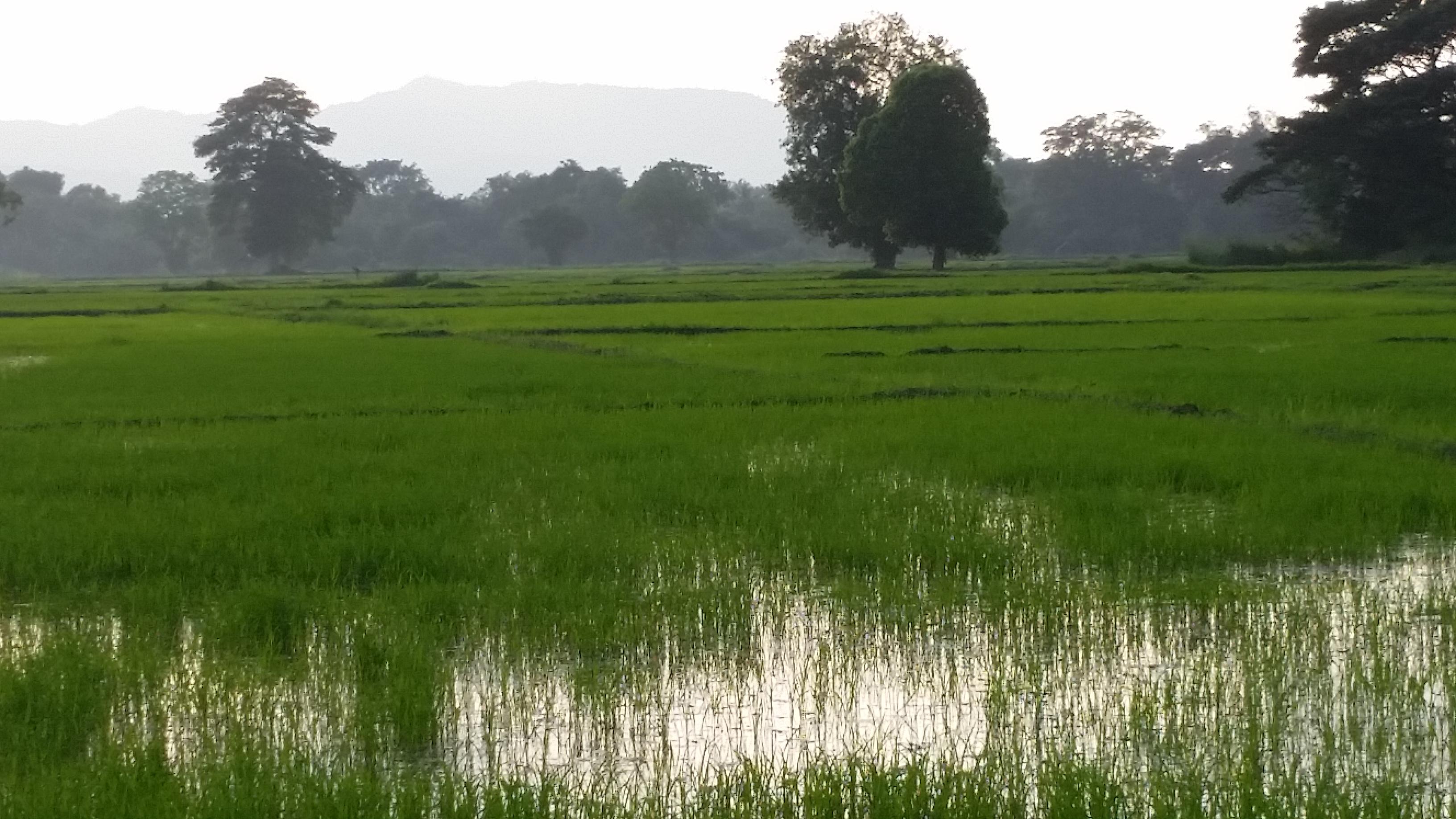 Rizières près de Kurunegala. Crédit Photo - Emmanuelle Gunaratne