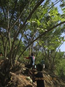 On taille les branches solides des gliricidia du jardin