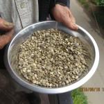 Les meilleures graines seront sélectionnées manuellement, chez Hansa (Sri Lanka)
