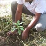 Savez-vous planter les caféiers? On les plante avec le doigt.