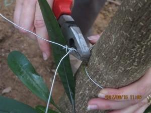 On effeuille les branches pour en faire des pieux.