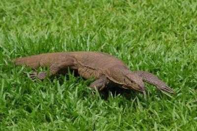 Thalagoya du Sri Lanka (varan)